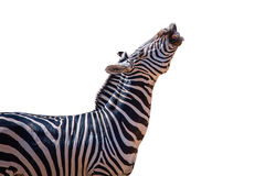 Смеясь над изолированная зебра Стоковые Изображения RF