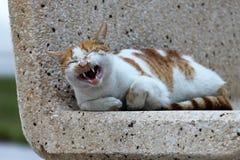 Смеясь над кот на карнизе Al-Эльа-Хубар, Саудовской Аравии Стоковые Фото