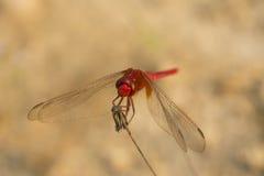 Смеясь над красный Dragonfly Стоковая Фотография