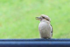Смеясь над профиль kookaburra с чистой предпосылкой Стоковое Изображение