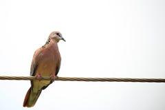 Смеясь над голубь Стоковое Изображение RF