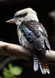 Смеясь над птица kookaburra от Австралии Стоковое Фото