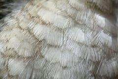 Смеясь над текстура оперения kookaburra (novaeguineae Dacelo) Стоковое фото RF