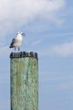 Смеясь над чайка на покрынной куче Стоковые Изображения
