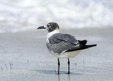 Смеясь над чайка стоя на влажном песке Стоковые Фотографии RF