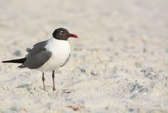 Смеясь над чайка Leucophaeus Atricilla на индийских утесах приставает к берегу, Мексиканский залив, Флорида Стоковая Фотография RF