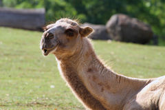 Смеясь над Bactrian Верблюд-Camelus Ferus, Bactrianus стоковые изображения