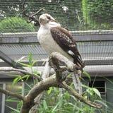 Смеясь над Dacelo Novaeguineae Kookaburra Стоковые Фотографии RF