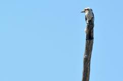 Смеясь над kookaburra - австралийские птицы Стоковое Фото