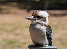 Смеясь над kookaburra - novaeguineae Dacelo Стоковая Фотография RF