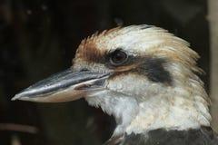 Смеясь над kookaburra & x28; Novaeguineae& x29 Dacelo; Стоковые Фотографии RF