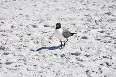 Смеясь чайка наслаждаясь пляжем стоковое изображение