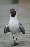 смеяться над чайки Стоковые Фотографии RF