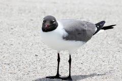 смеяться над чайки Стоковые Фото