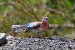 смеяться над dove стоковые фотографии rf