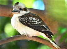 смеяться над kookaburra kingfisher Австралии mackay стоковая фотография