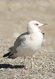 Смеяться над чайки моря Стоковое Фото