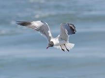 смеяться над чайки полета Стоковая Фотография RF