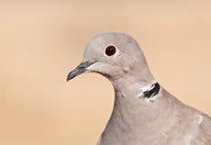 смеяться над dove стоковая фотография