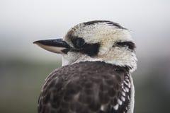 смеяться над kookaburra Стоковое Изображение