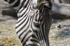 Смелейший взгляд сбоку головы ` s зебры Стоковое Фото