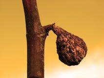 смоква Стоковые Изображения