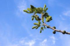 смоквы свежие Стоковое Изображение RF