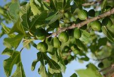 смоквы Стоковое Фото