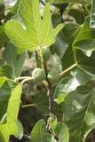 смоквы Стоковые Фотографии RF
