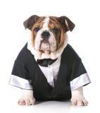 Смокинг собаки нося стоковые фотографии rf