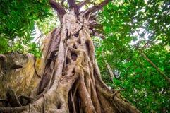 Смоковница в тропическом лесе бедствия накидки Стоковое Фото