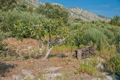 Смоковница и оливковые дерева - Хорватия Стоковое Изображение RF