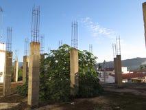 Смоковница растя через пол Стоковые Фотографии RF