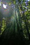 смоковница Стоковое Изображение