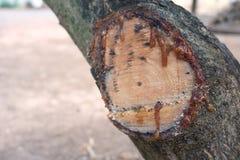 Смола от дерева стоковое изображение