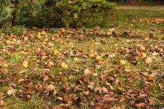смолотые яблоки Стоковое Изображение