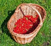 смородины корзины красные Стоковое Изображение
