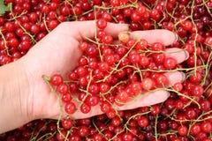 смородины красные Стоковое Фото