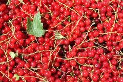 смородины красные Стоковая Фотография