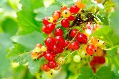 смородины bush красные стоковая фотография
