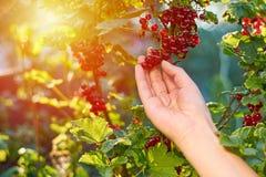 Смородина самосхвата девушки красная в саде на заходе солнца или восходе солнца, сельской концепции, солнечном свете Стоковое Изображение
