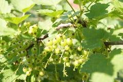 смородины зеленых ягод красные в саде Стоковое Изображение