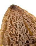 Сморчок гриба на белой предпосылке Стоковое Изображение RF