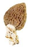Сморчок гриба на белой предпосылке Стоковые Изображения RF