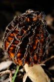 Сморчок, уродский гриб Стоковое Изображение