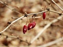 Сморщенные ягоды Стоковое фото RF