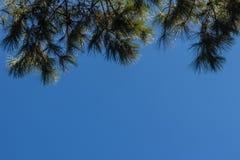 Смотреть-вверх взгляд красивой тропической сосны с голубой солнечной предпосылкой неба Листья зеленого цвета леса сосны на острос Стоковые Изображения RF