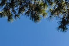 Смотреть-вверх взгляд красивой тропической сосны с голубой солнечной предпосылкой неба Листья зеленого цвета леса сосны на острос Стоковые Фотографии RF