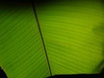 Смотреть вверх взгляд под банановым деревом стоковое фото rf