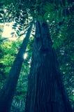 Смотреть вверх высокорослое прямое дерево в древесинах стоковая фотография rf